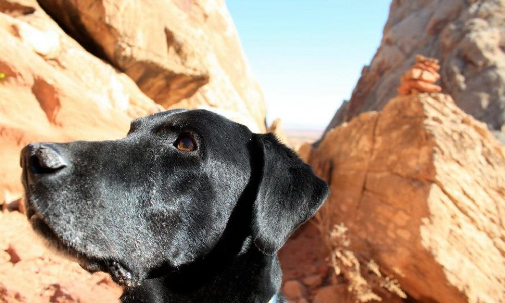 black lab dog looking ahead in a canyon